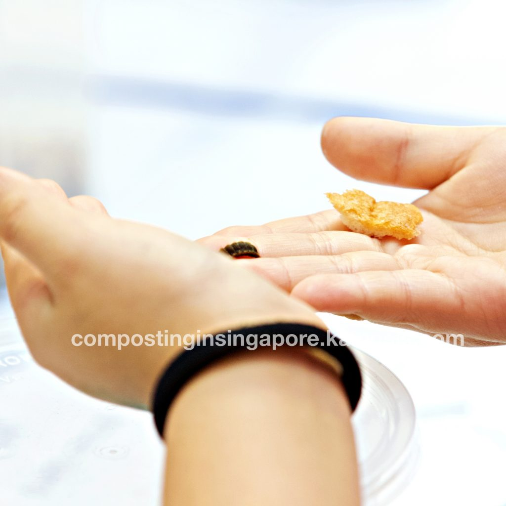 Holding a Black Soldier Fly grub in hand and feeding it bread crumbs